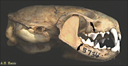 Carnassial teeth